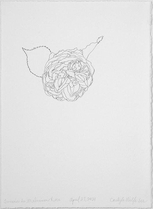 04 27 2021 Souvenir de Malmaison Rose
