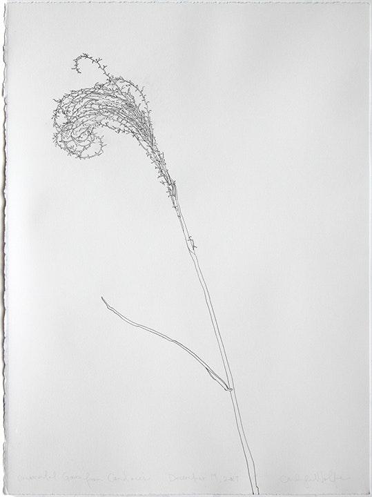 Ornamental Grass form Candace's  December 19, 2017