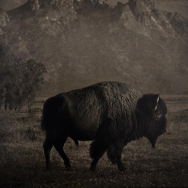 Buffalo Tetons
