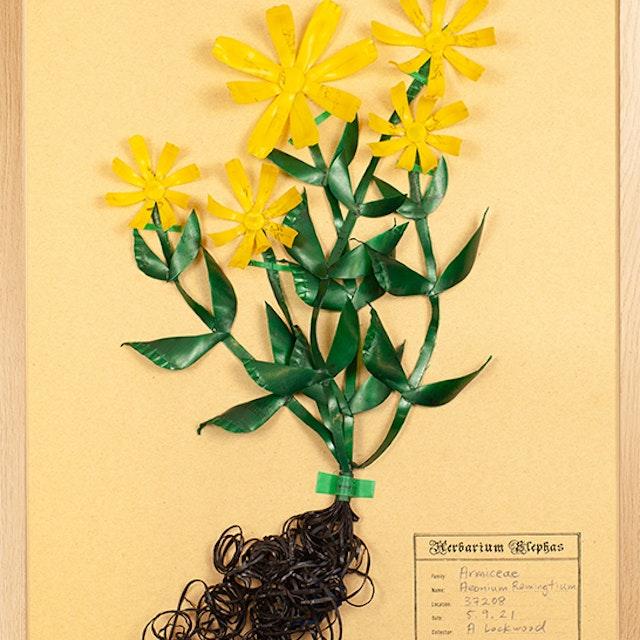 Armiceae Aeonium Remingtium