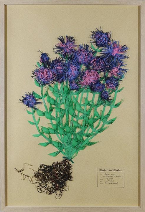 Armiceae Centaurea cleverus
