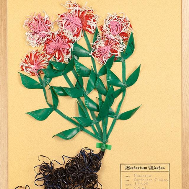 Armiceae Centaurea Clubea