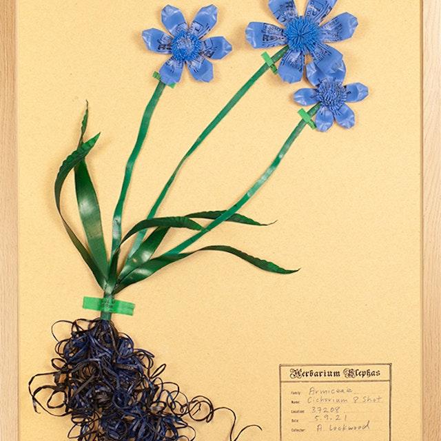 Al armiceae cichorium 8 shot 10
