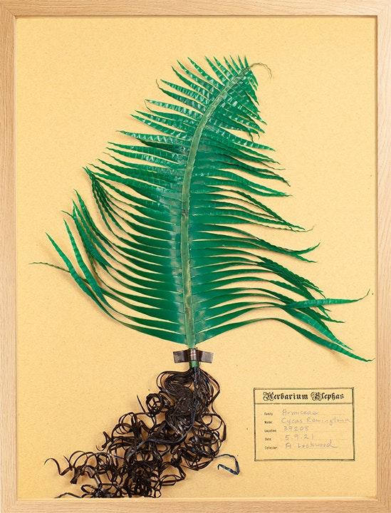 Armiceae Cycas Remingtona