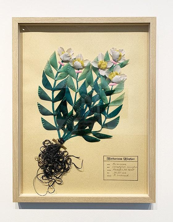 Callophyllum remingtum