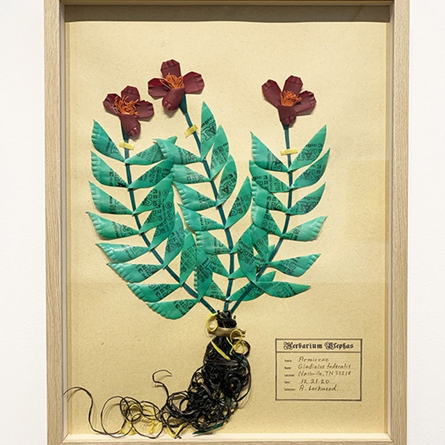Gladiolus federalis