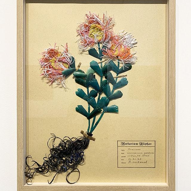 Leucospermum gamebore